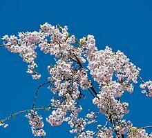 Eastern Redbud Flowers by Haz Preena