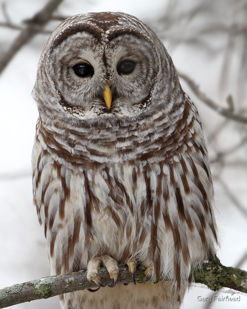 Up Close And Personal With A Barred Owl by Gary Fairhead