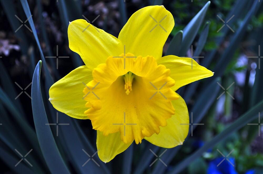Yellow Daffodils  by Haz Preena