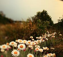 Grassland Paper Daisies by Garth Smith