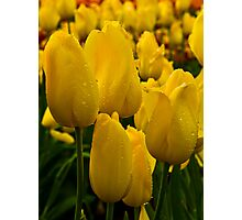 Yellow Tulip at Tesselaar Tulip Festival Photographic Print