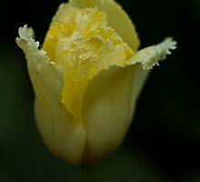 Pale Yellow Tulip at Tesselaar Tulip Festival by Steven Weeks