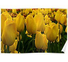 Yellow Tulip at Tesselaar Tulip Festival Poster