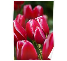Pink and White Tulip at Tesselaar Tulip Festival Poster