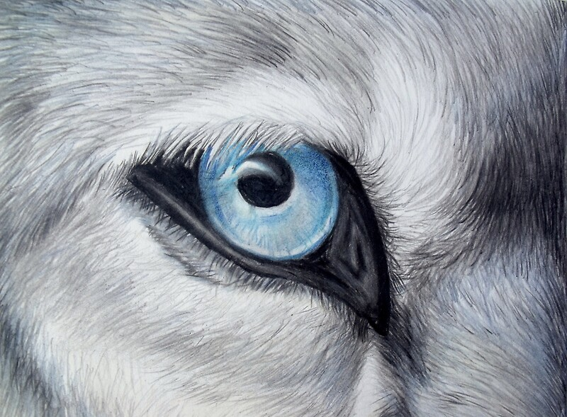 Quot Icy Glance Silver Gray Wolf Blue Eye Colored Pencil