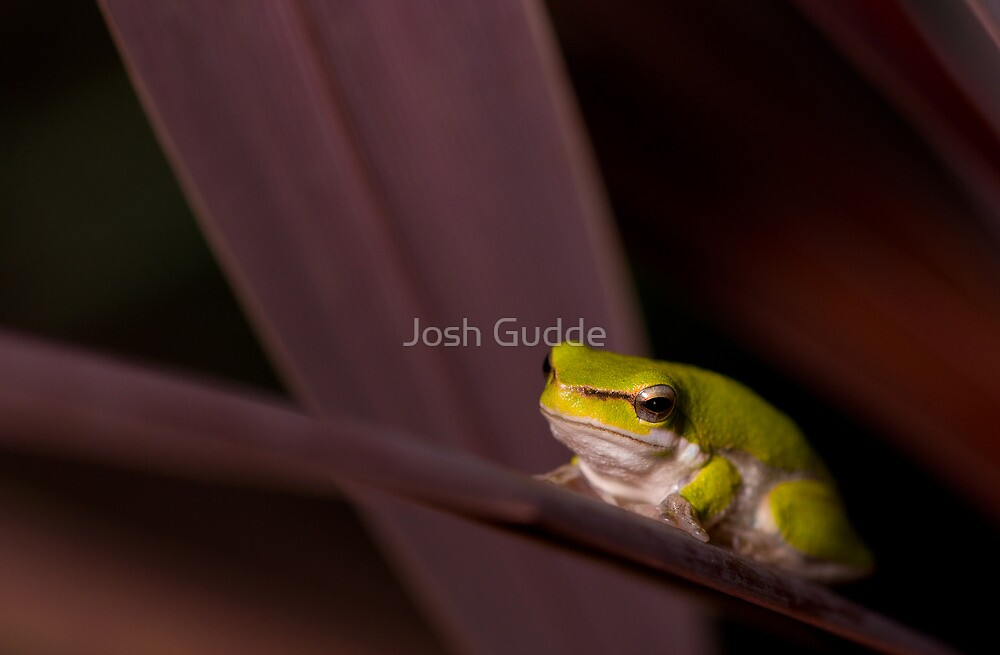 Frog by Josh Gudde