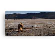 cow............................................ Canvas Print