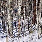 birch winter by Bob Moore
