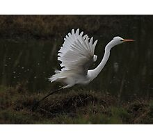 Egret Displaying Angel Wings Photographic Print