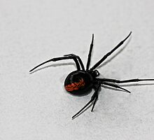 Redback spider by Chris Brunton