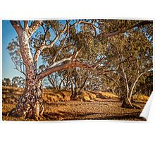 River Red Gums - Stephens Creek Poster