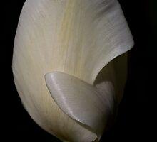 White Tulip at Tesselaar Tulip Festival by Steven Weeks