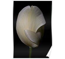 White Tulip at Tesselaar Tulip Festival Poster