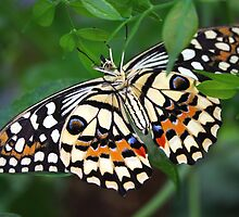 Upside Down Dingy Swallowtail - Papilio Demoleus by Lepidoptera