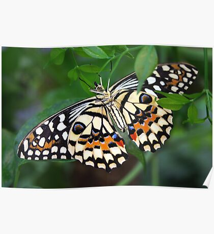 Upside Down Dingy Swallowtail - Papilio Demoleus Poster