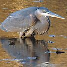 Great blue heron ready to strike by nealbarnett
