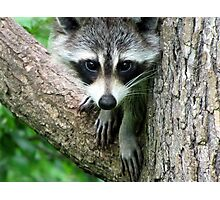 RACCOON PORTRAIT WITH PAWS & CLAWS  Photographic Print