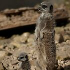 Meerkats by mps2000