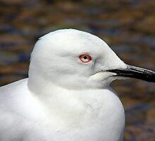 Black-billed gull head by Duncan Cunningham
