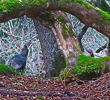 Turkeys in the Wild by David Denny