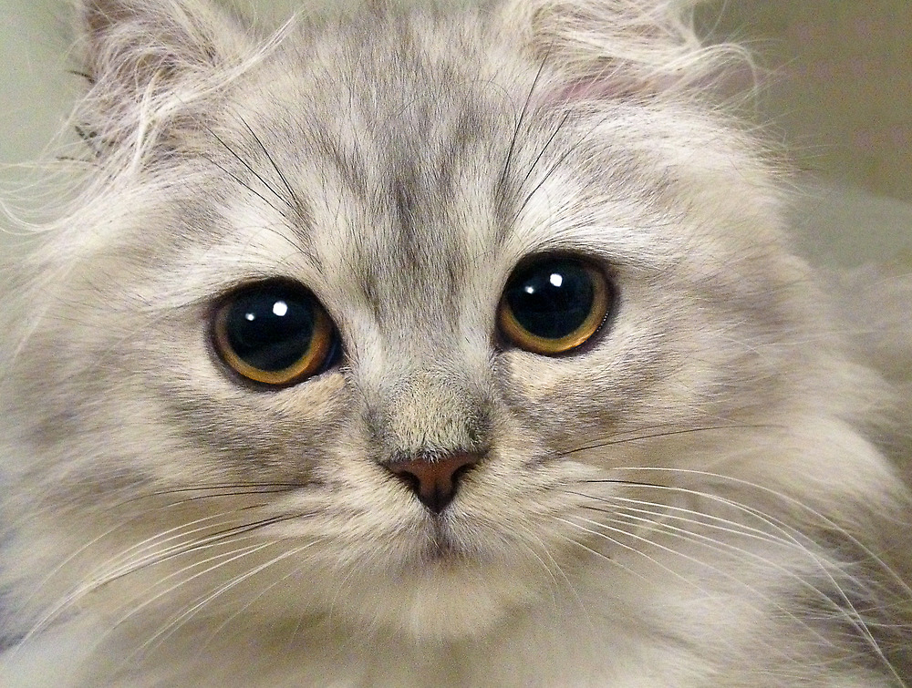 Soft Kitty, warm kitty by alan shapiro