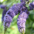 Butterfly Bush by Nancy Aranda