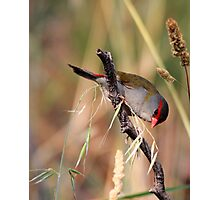 Red Browed  Firetail finch Photographic Print