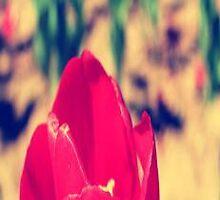 Tulip by RandomPhotograp