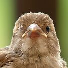 Wink...Wink... Sparrow - NZ by AndreaEL