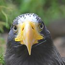 Eagle ~ Sea Eagle by Jeanie93