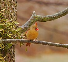 Lady Cardinal by Mary Carol Story