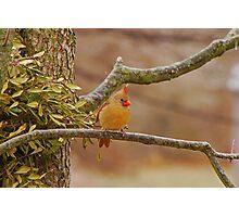 Lady Cardinal Photographic Print