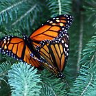 Monarch's Breeding by Johnny Furlotte