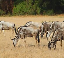 White Race Wildebeest Herd Grazing by Carole-Anne