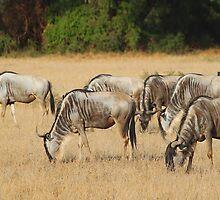 White Race Wildebeest Herd Grazing by Carole-Anne