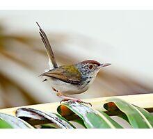 Common Tailor Bird [Orthotmus sutorius] Photographic Print