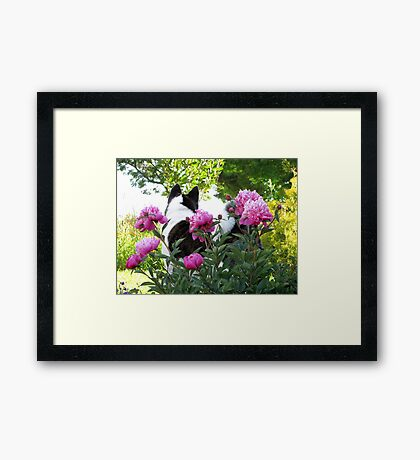 Akita With Pink Peonies Framed Print