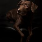 Chocolate Labrador 2 by Mark Cooper