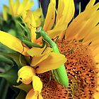 Praying Mantis on Sunflower by Johnny Furlotte