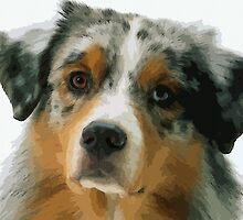 Australian Shepherd 3 by Adam Asar