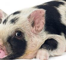 Spotty Micro pig chilling by petpiggies