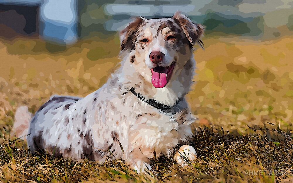 Australian Shepherd by MotionAge Media