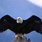 Bald eagle wingspan  by Adam Asar