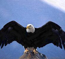 Bald eagle wingspan  by Adam Asar
