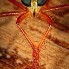 Robberfly by jimmy hoffman