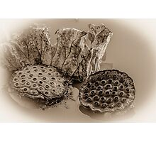 Floating Lotus Seed Pods  Photographic Print