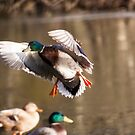 Mallard duck landing on lake by SimonWest