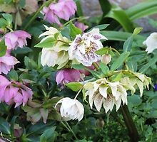 Hellebores by Wendy Dyer