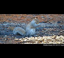 Sciurus Carolinensis - Eastern Gray Squirrel by © Sophie W. Smith