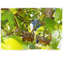 Stout young blue jay Poster
